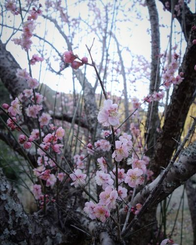 Plumblossom Plum Flower Blossom Springtime Fragility Tree Pink Color Beauty In Nature Branch Nature Petal No People Plum Blossom Flower Head Sky Day Close-up Outdoors Freshness Botany Growth
