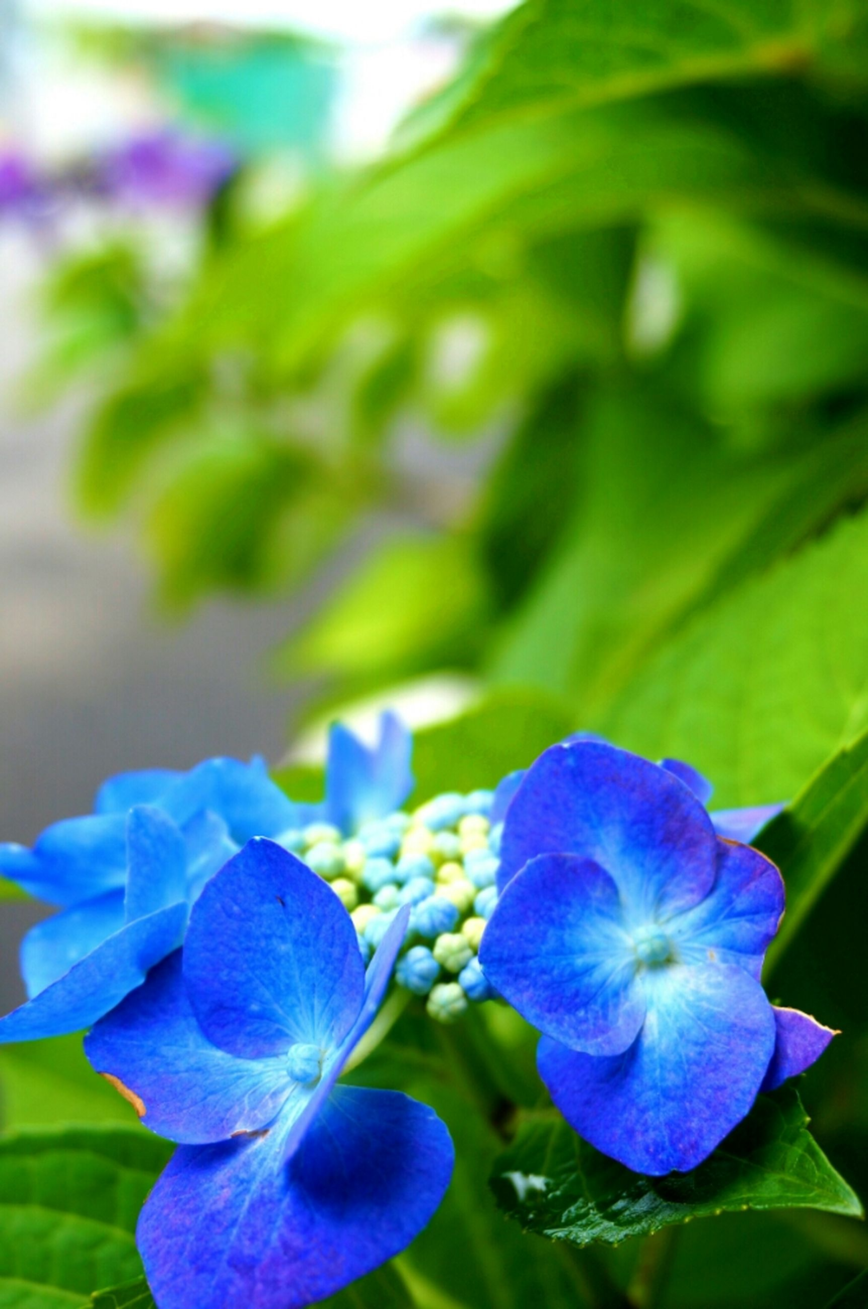 flower, purple, freshness, petal, fragility, growth, flower head, beauty in nature, close-up, plant, blooming, blue, nature, focus on foreground, in bloom, leaf, park - man made space, hydrangea, green color, outdoors