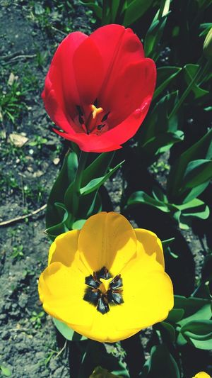 Tulipmania Tulipan Tulips Flowers Tulipanes🌷 Tulip Flowers Tulip Poplar Tulips🌷 Tulips Tulip Freshness Tulipano Tulipe Flower Nature Flower Head Petal Beauty In Nature Yellow Outdoors Pollen Red Freshness Plant Growth Fragility