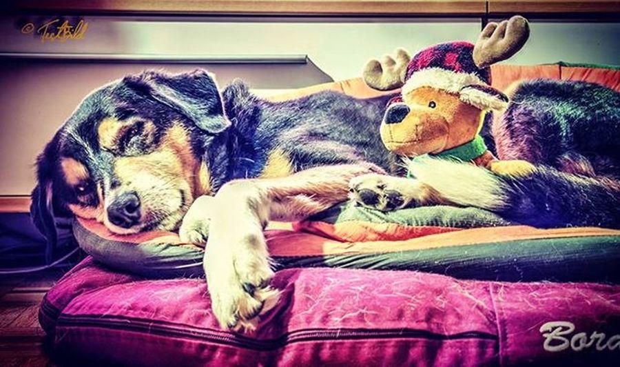 Magic Murmel Hund Mischling Schlafen Griechenland Tierschutz Collibernersennenmix Testbild