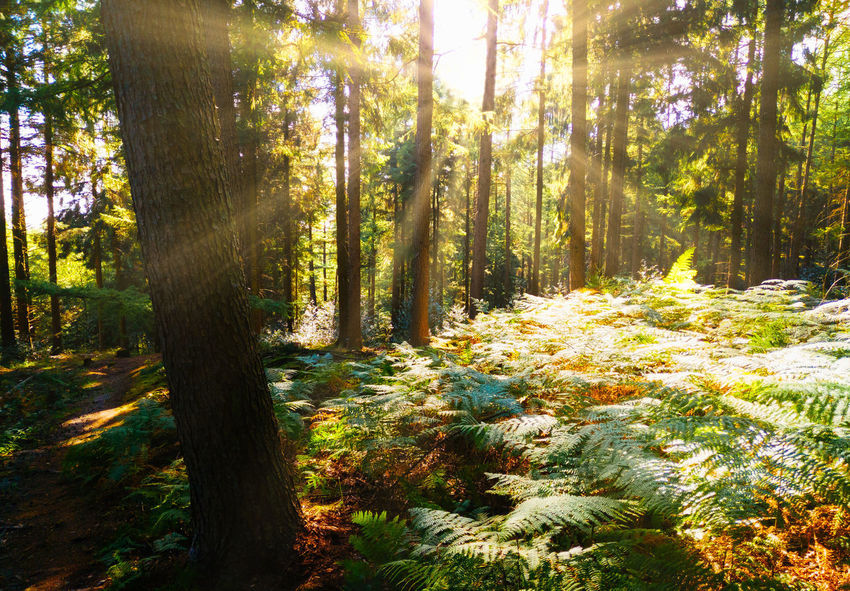 Beauty In Nature Bright Day Environment Forest Green Color Growth Land Lens Flare Nature No People Non-urban Scene Outdoors Plant Scenics - Nature Streaming Sunbeam Sunlight Tranquil Scene Tranquility Tree Tree Trunk Trunk WoodLand