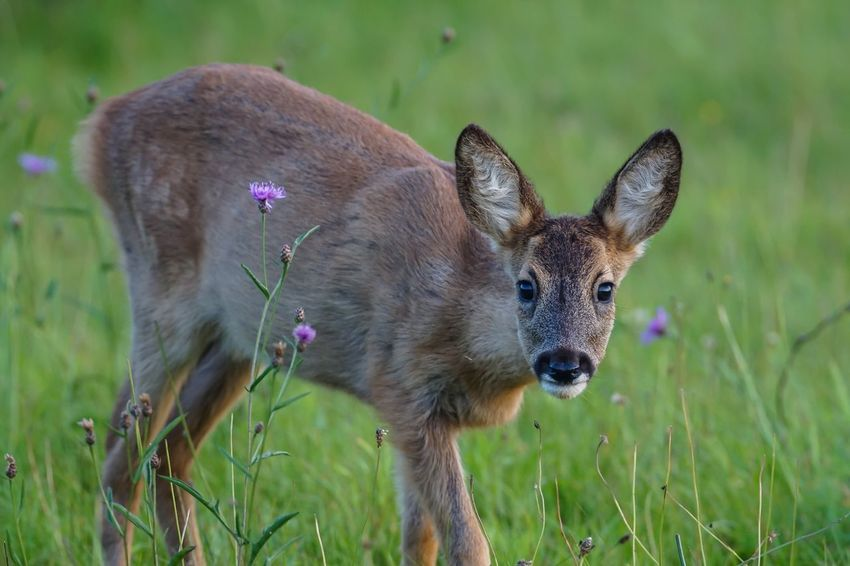 Bambi Reh Deer Wildlife Young Animal Nature Wiese  Flowers Animals In The Wild Animal Themes Close-up Sunset Grass Animal Wildlife