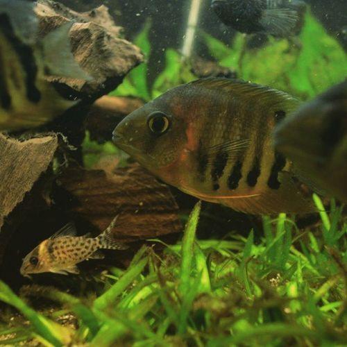 Buntbarsch Aquarium Peixe Fish