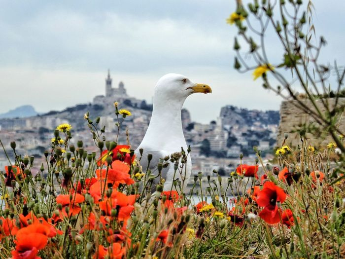 Close-up of seagull perching amidst poppy flowers against sky