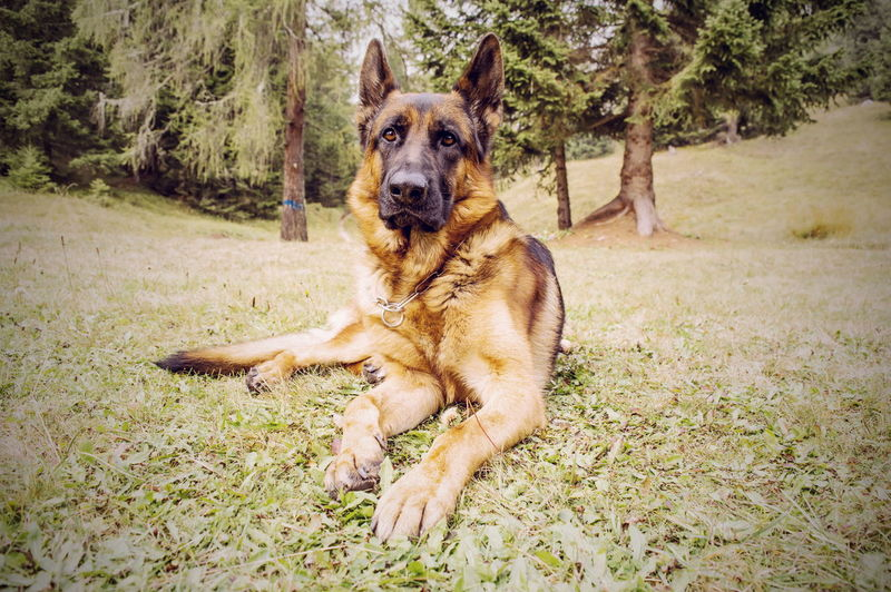 The pride. Dog Animal Themes One Animal Pets Domestic Animals Sitting Full Length Front View Looking At Camera Alertness Outdoors Animal Curiosity Day Looking Animal Head  Loyalty German Sheperd Animal Posing Animals