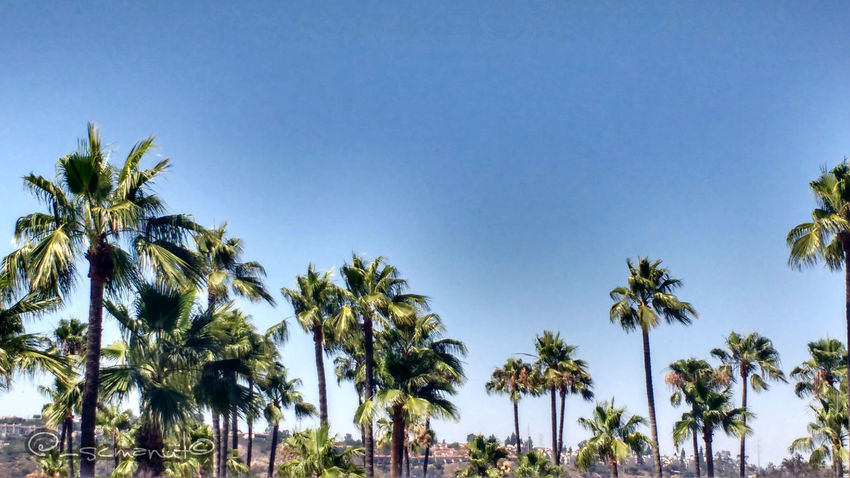 Palm Trees forever! Mission Valley, Ca Missionvalley California Palm Trees Sandiego_ca Tree