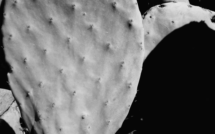 Minimal Growing Cactus Cactus Leaf Black And White Close Up Nature