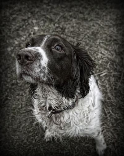 Daisy Springer Spaniels Gundogs Dogs Dog Walking Black & White