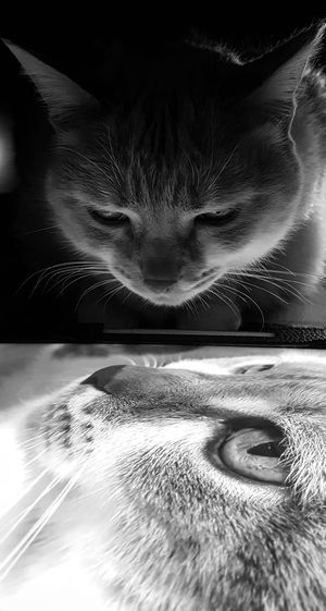 """""""Two Eddie Tors"""" AntiM Blackandwhite Cat Cat Eyes Cat Portrait Cat Watching Cat Watching Cat Photography Cats Of EyeEm Close-up Day Eddie Tor Indoors  Mammal My Cat Is Cooler Than Your Kids! No People Two Cats Water Pet Portraits"""