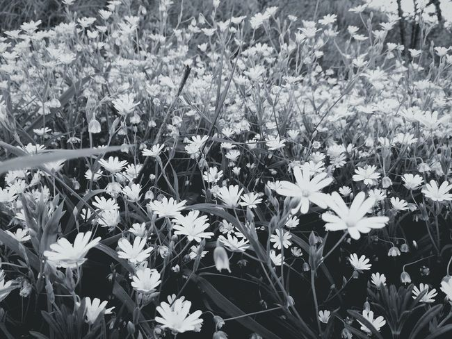 Flowers don't lie, they're grow and enjoy their short and innocent lives. Flower Growth Nature White Color Fragility Petal Beauty In Nature Peaceful Moment Peace Innocence Lies World Life Photography White And Black Beautiful Nature Field Of Flowers