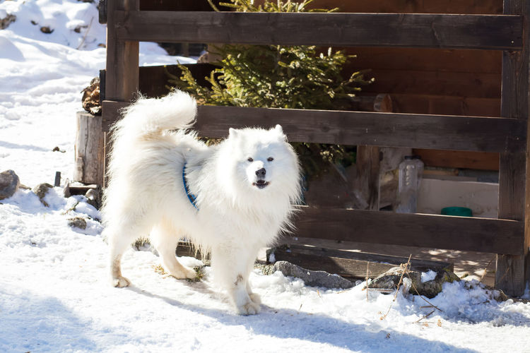 white samoyed dog in winter scenery Winter Winter Dog Animal Themes Cute Day Dog Domestic Animals Mammal Nature No People One Animal Outdoors Pets Samoyed Samoyed Puppy White Winter Winter Wonderland