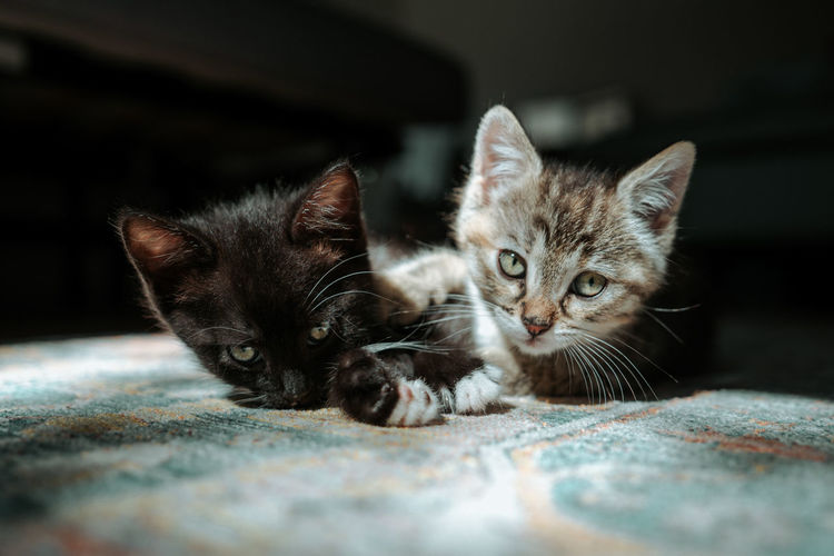 Close-up of cute kittens lying on carpet at home