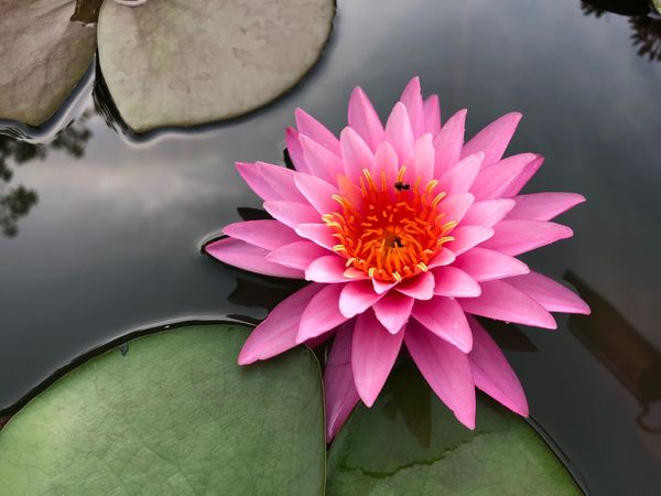 Flower Close-up Petal Beauty In Nature Flower Head Freshness Nature Pink Color Fragility Growth No People Leaf Pollen Lotus Water Lily Water Lily Day Water Floating On Water Plant Lotus