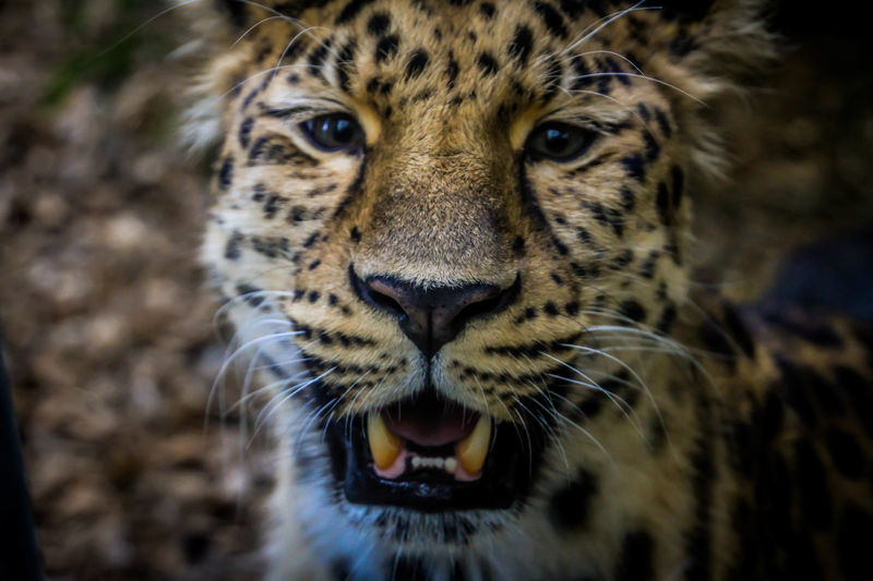 Big Cats Zoo Animal Animal Photography Animal Themes Animal Wildlife Animals Big Cat Big Cat With Spots Close-up Leopard No People One Animal Zoo Animals  Zoophotography