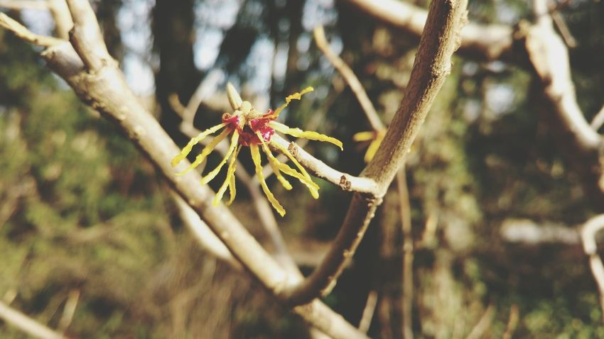 Nature Outdoors Close-up Branch Beauty In Nature Growth No People Tree Day Hamamelis Witch Hazel Plant Witch Hazel Winterzaubernuss Bush Bushes Shrub Shrubs Spring Blossom Blooming Yellow Bloom Bud