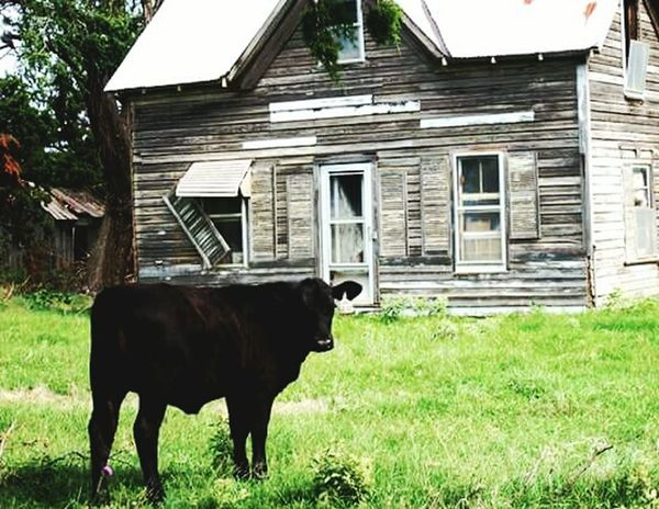 Oklahoma,abandon house,cow Agriculture Farm Livestock Grass Cattle House Cow Building Exterior Rural Scene Domestic Animals Outdoors Built Structure Farmhouse Nature Architecture No People American Bison Day Mammal Sky
