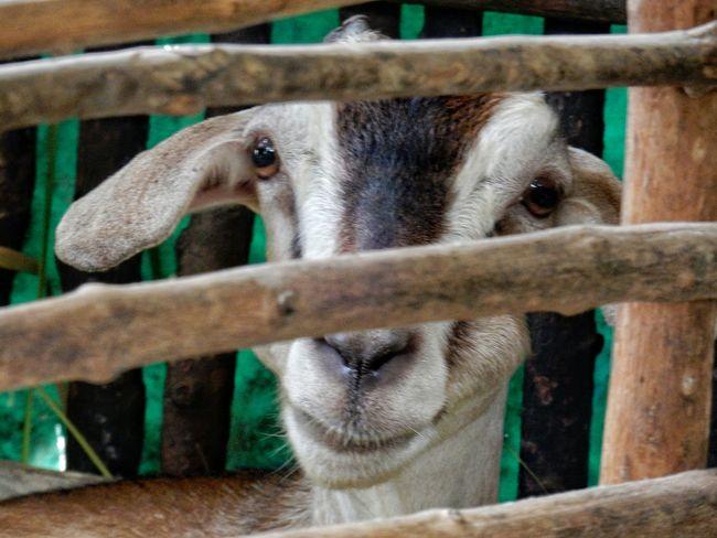 Goat Close-up Of Goat Animal Animal Photography