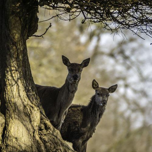Red Deer Animal