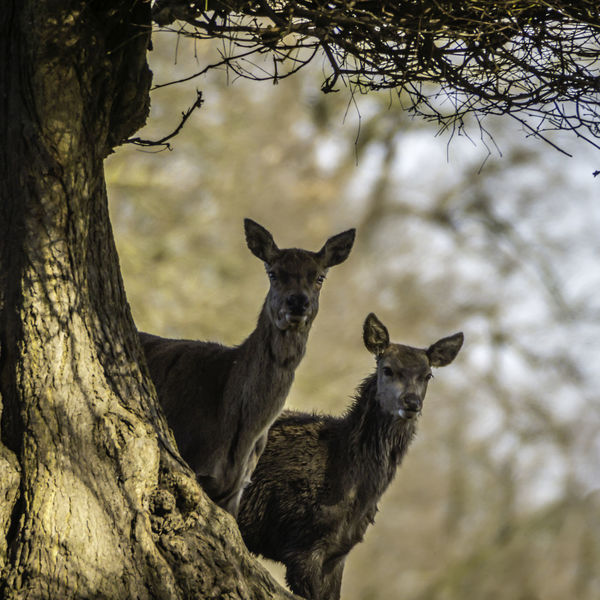Red Deer Animal Themes Animal Wildlife Animals In The Wild Day Deer Mammal Nature No People Outdoors Tree