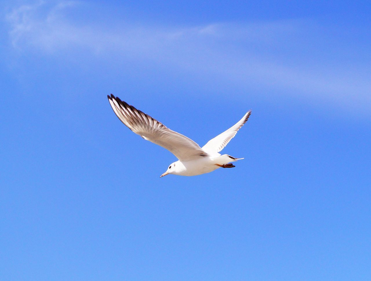 flying, bird, spread wings, one animal, animal themes, animals in the wild, low angle view, animal wildlife, mid-air, day, blue, nature, no people, seagull, outdoors, motion, clear sky, full length, sky, beauty in nature