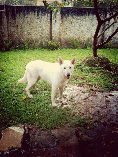 big Polo, thor's father Berger Blanc Suisse White Shepard Dog Cao