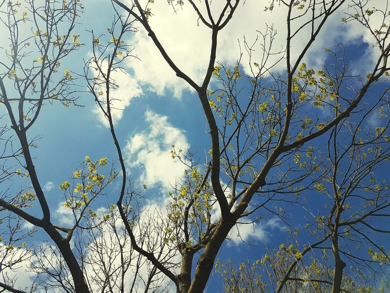 The weather. Trees Tree Branch Nature Beauty In Nature Sky Blue Low Angle View Day No People Outdoors Flower Backgrounds Forest Clouds Cloudsporn