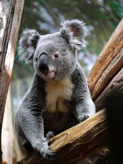 Close-up of koala sitting on tree trunk