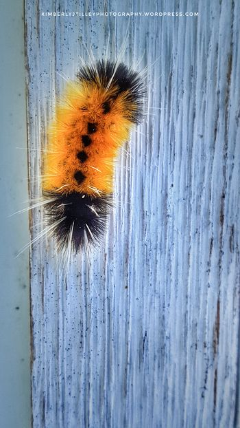 A Spotted Tussock Moth Caterpillar. Close-up Nature Outdoors Bug Insect Moth KimberlyJTilley Blackandorange