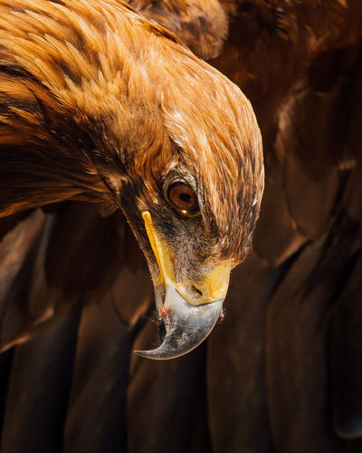 Close-Up Of Golden Eagle