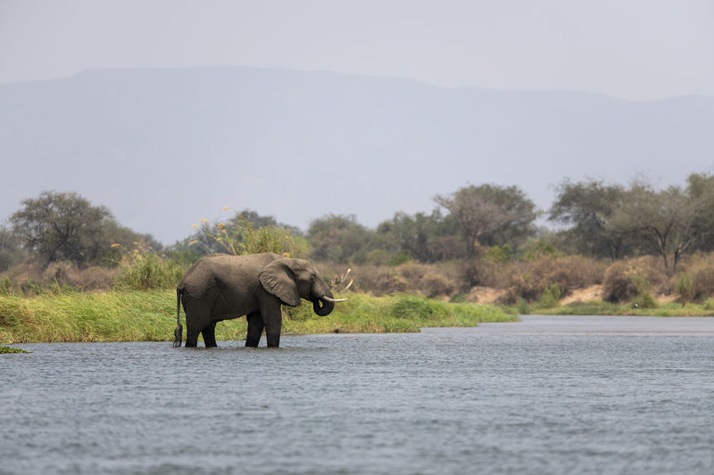 Elephant walking in a lake