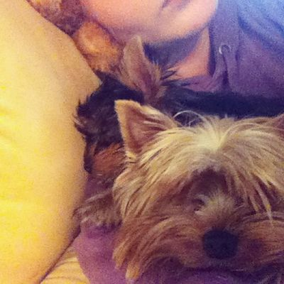 my little monkeys sleeping with me on sofa Terrier Yorkshire Yorki Baby puppygirlboyblondierussiatiredafterharddayofworkingsofalittlemonkeysйоркийоркширскийтерьердевочкамальчикщенокроссияпсковскаяобласть