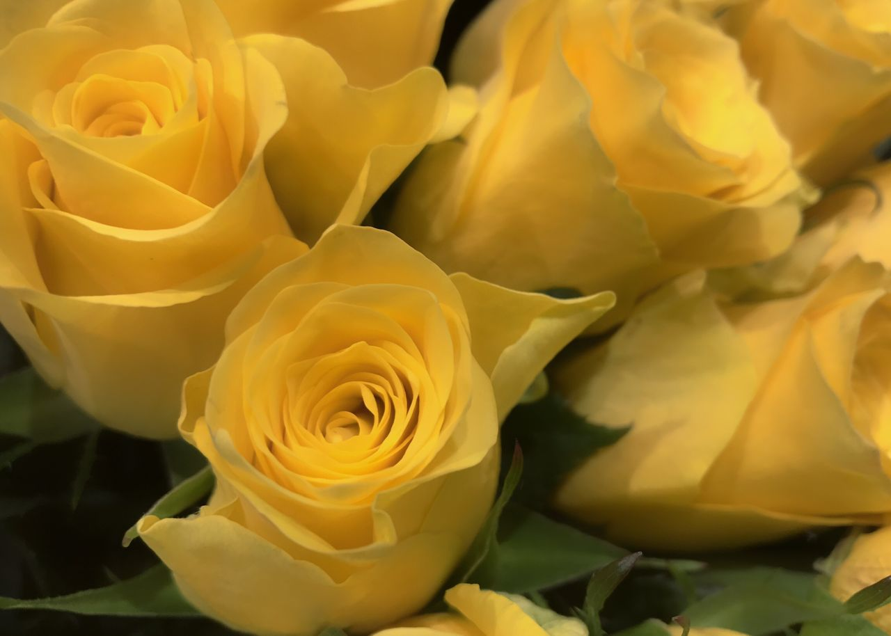 flower, petal, beauty in nature, fragility, rose - flower, flower head, nature, freshness, yellow, full frame, no people, backgrounds, love, close-up, growth, plant, springtime, soft focus, blooming, outdoors, day