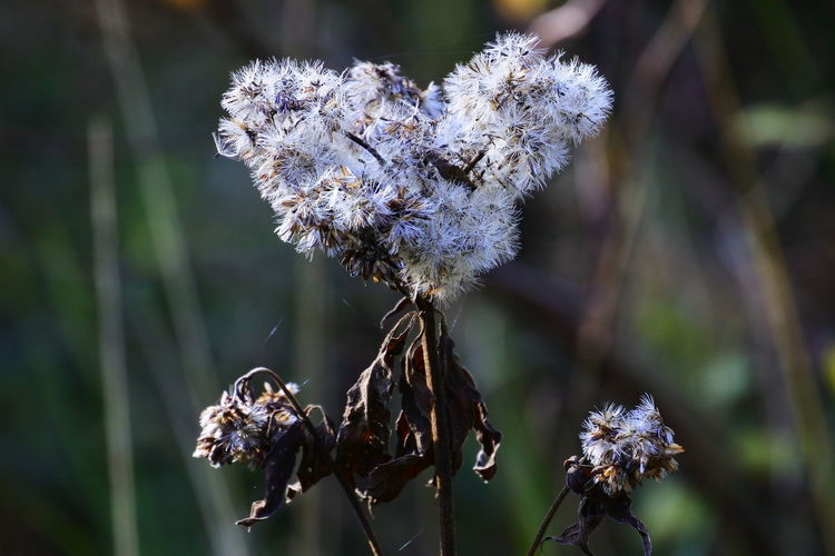 Dried Plant Seeds Flower AndIloveyouforever Close-up Wilted Plant