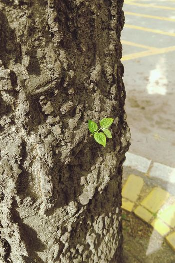 Tree Trunk Day Rough Textured  Outdoors No People Nature Sunlight Tree Close-up Animal Themes Lg V10 LGV10 Green Color Flower City Subotica