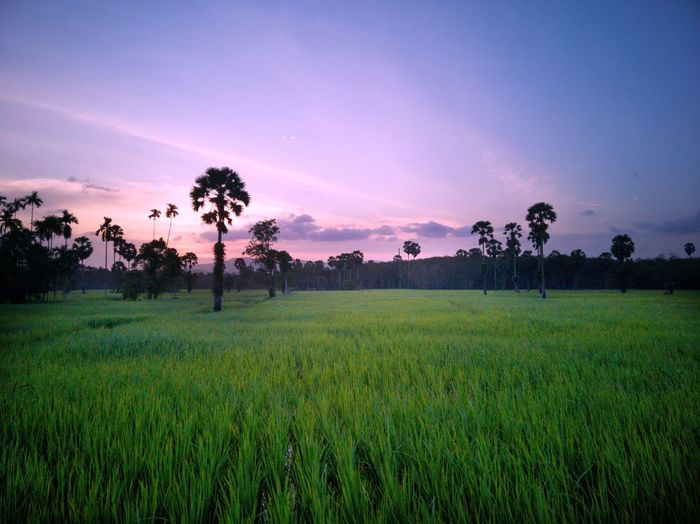 Sunset Beauty In Nature Outdoor Photography EyeEm Selects Landscape #Nature #photography Idyllic Relax Relaxing Time Tree Rice Paddy Sunset Agriculture Rural Scene Cereal Plant Field Palm Tree Rice - Food Staple Crop  Farmland Asian Style Conical Hat