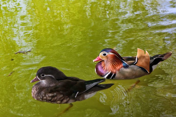 colour doesn't matter, we are friends Animal Themes Beast Is Still Lovely Beautiful Feathers Beauty And The Beast Beauty In Nature Colour Doesn't Matter Day Duck Duck Couple Eyecatcher Lake Mallard Duck Natural Colours No People Rippled Swimming In The Lake True Friends True Friendship ❤ Water