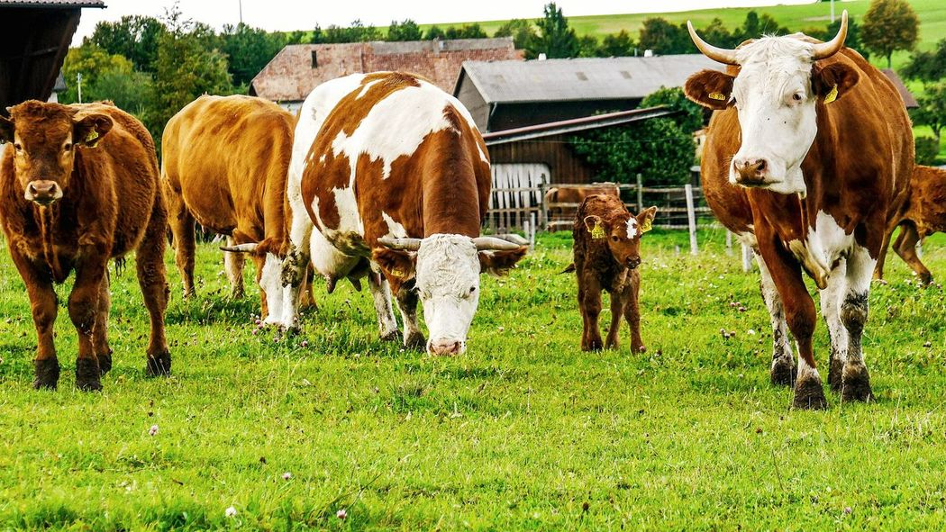 Cows 🐮 Farm Life Farm Animal Farm Animals Cow EyeEm Cow Lover Green Color Cow Cows Animal Young Cow Day Cow Outdoors Grazing Nature Cattle Domestic Animals Domestic Cattle Livestock Grass Field Mammal Animal Themes Domesticated Animal Tag Farm Animal No People