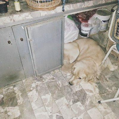 วันนี้มาแปลกไม่ยอมลุกมาส่ง ไปนอนขลุกอยู่ในตู้ 😑😑😑Dog Pet Pet13 Goldenretriever