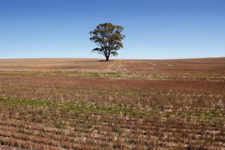 A landscape of a solitary tree alone on the farm Agricultural Land Alone Beauty In Nature Blue Clear Sky Day Farmland Field Grass Horizon Over Land Isolated Landscape Lone Nature No People Outdoors Plant Rural Scene Scenics Single Tree Sky Solitary Tranquility Tree Tree Trunk