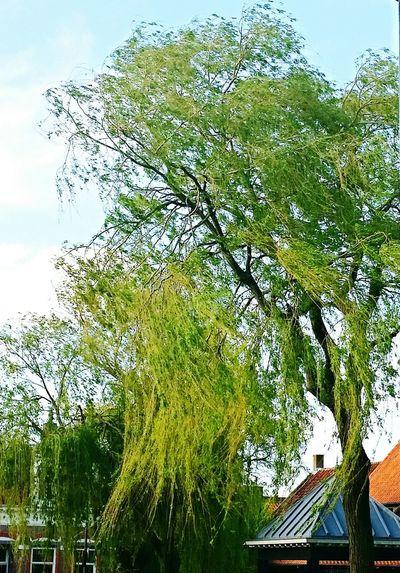 hoge bomen vangen veel wind, tree,bomen,nature