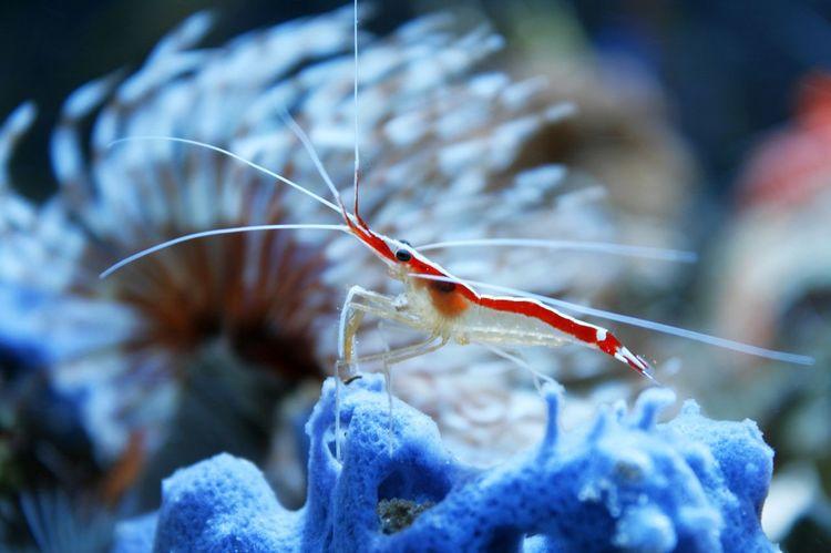 Close-up Lysmata Marine Shrimp Marine Tank Nature Reef Reef Tank Shrimp