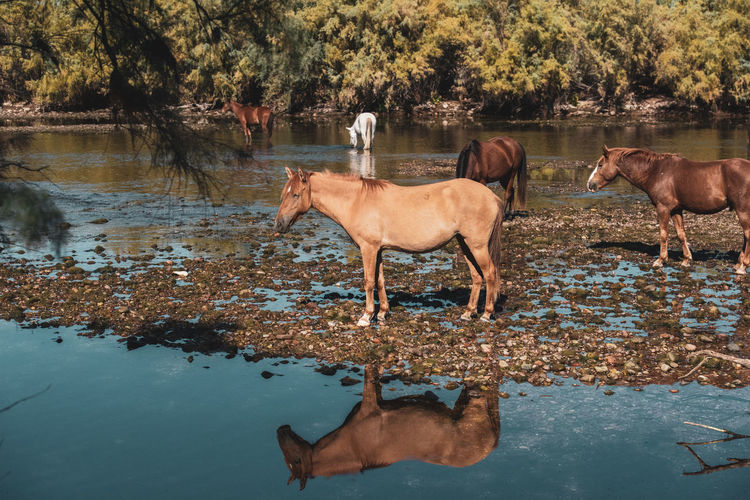 Horse drinking water in lake
