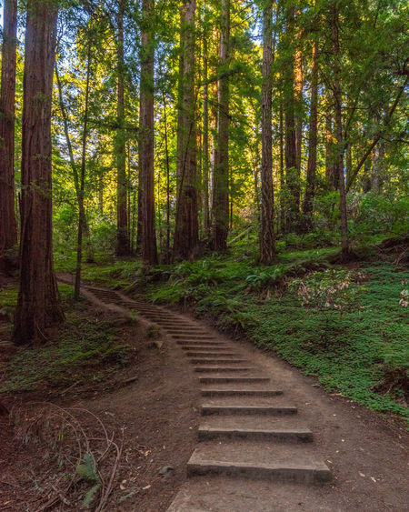 Redwoods Forest Tree Land Plant WoodLand Nature Tree Trunk Direction No People Trunk Tranquility Beauty In Nature The Way Forward Non-urban Scene Scenics - Nature Tranquil Scene Day Growth Wood - Material Footpath Outdoors