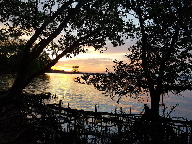 Mangrove trees silhouette during sunset. Mangrove Environment Tropical Dusk Beach Trees Nature Landscape Water Sunset Silhouette Reflection Sky Horizon Over Water Growing Calm Shore Branch