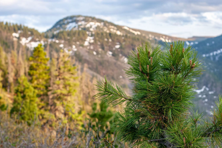 Close-up of pine tree on landscape against sky