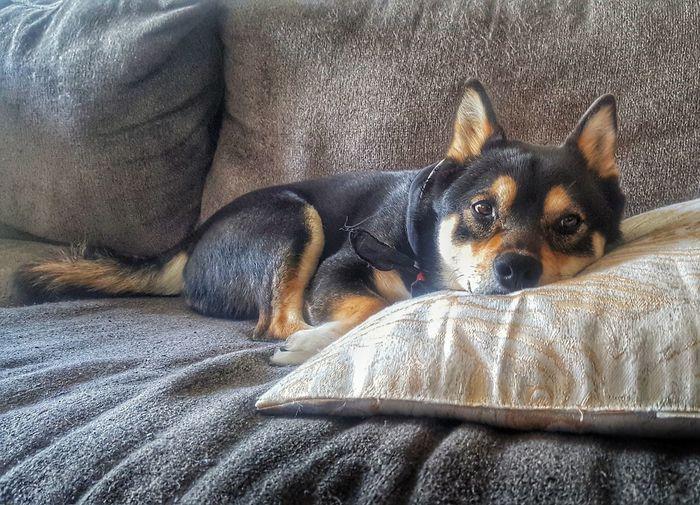 sleeping on marble Shiba Inu New Apartment Pillows Lap Dog