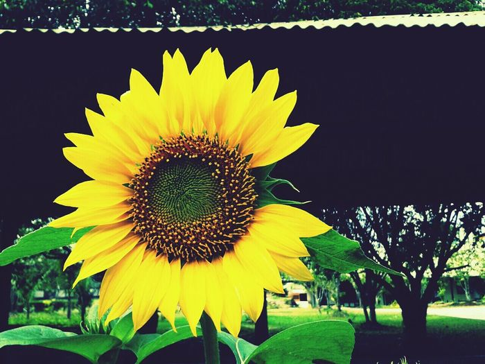 Being Creative Sunflower Checkthisout Newproject
