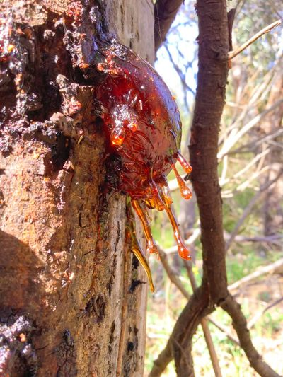 Beauty In Nature Awesome Tree Sap Liquid Amber Amber Walking Around Nature Photography Taking Photos Enjoying Nature Sunshine