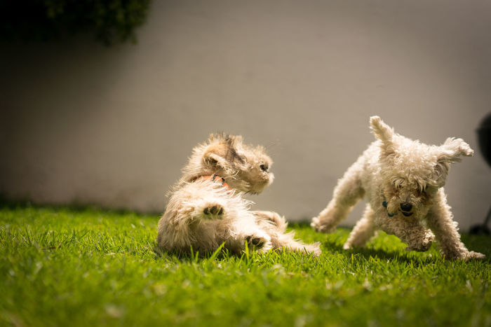 Animal Dog Dog Fight Dogs Fight Garden Motion Pet Pudel Puppy