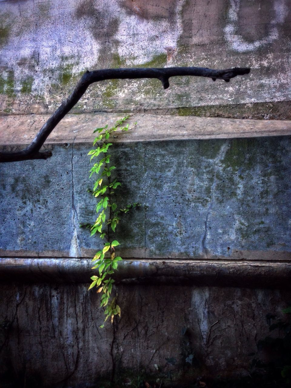 plant, day, growth, no people, nature, ivy, green color, outdoors, built structure, leaf, architecture, close-up, beauty in nature, animal themes, tree